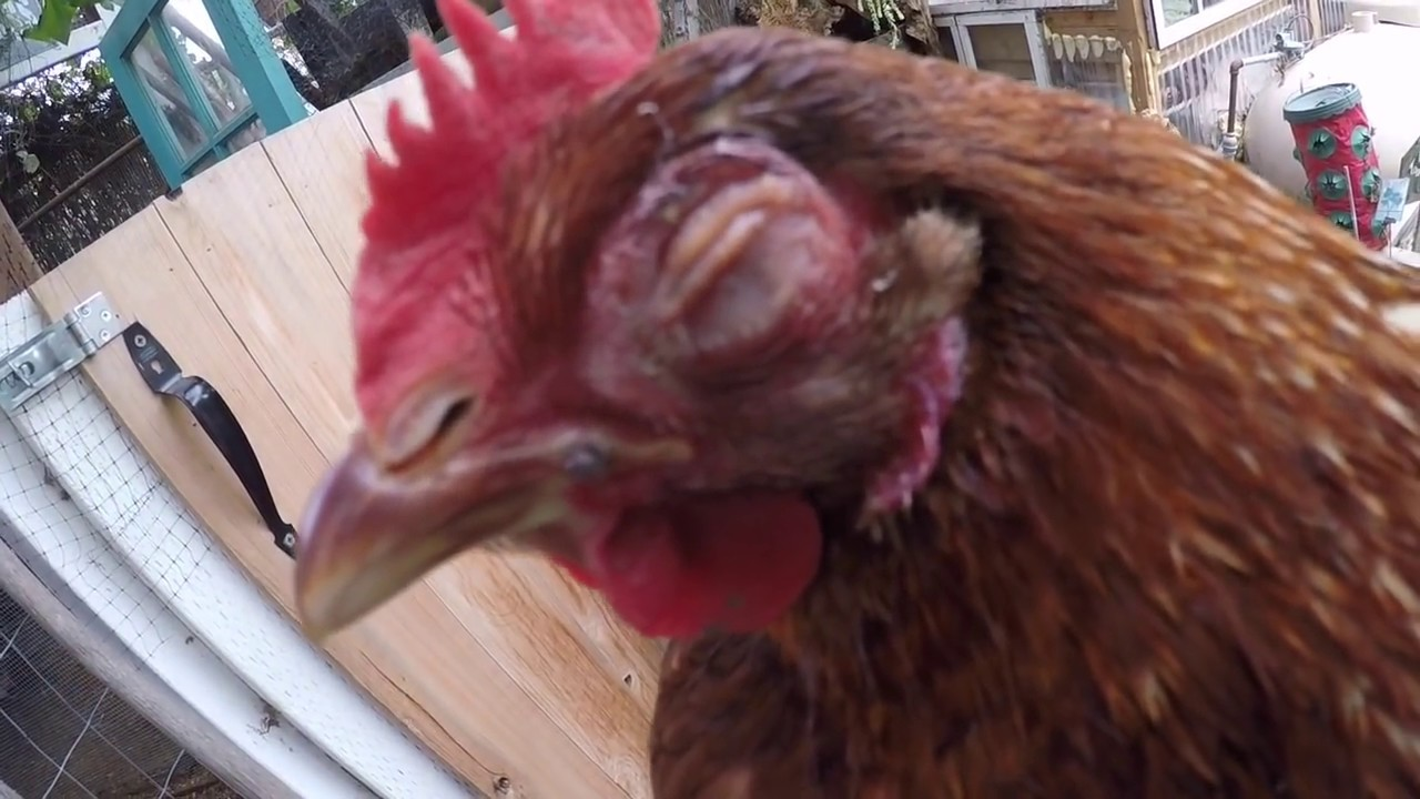 how to stop lice on my chickens