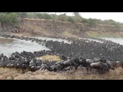 Gosheni Safari's Serengeti Wildebeest River Crossing Migration