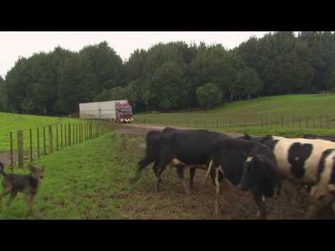 Koromiko Dairy Heifer Grazing