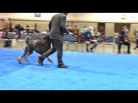 Poodle Movement slow mo standard dog #6