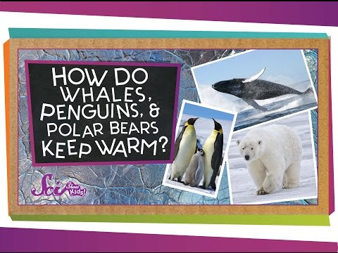 How do Whales, Penguins, and Polar Bears Keep Warm?