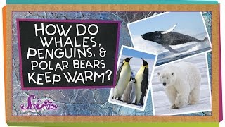 Repeat youtube video How do Whales, Penguins, and Polar Bears Keep Warm?