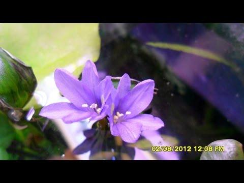микрантемум малоцветковый Micranthemum Micranthemoides