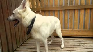 大型犬エリア ホワイトスイスシェパードくん
