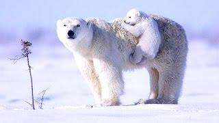 Best video about polar bears. (Chill mix). Beautiful nature (HD video). Good video(Best video about polar bears to music. Chill music and HD video. Красивая природа севера с использованием музыки релакс. Природа Севера,..., 2015-10-13T22:02:33.000Z)