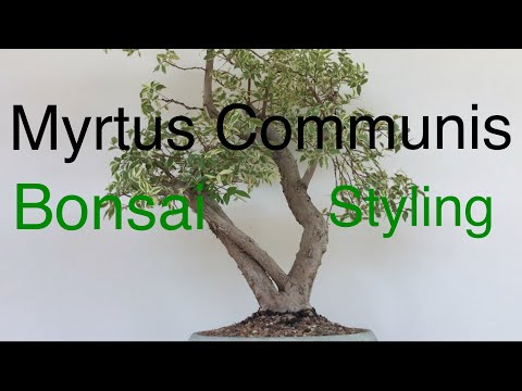 bonsai---myrtus-communis---common-myrtle-variegated-first-styling-sept-2019
