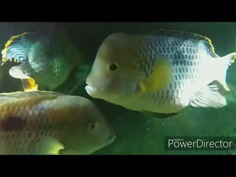 Жестокий мир Бирюзовых Акар . Взаимоотношения цихлид в аквариуме ( Акарыч)