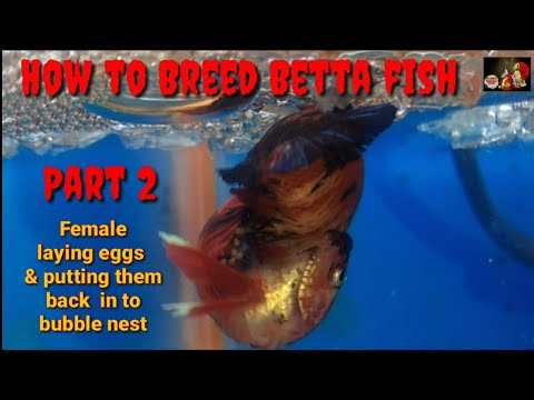 How to breed betta  Part 2: female betta fish laying eggs and putting  them back in bubble nest..