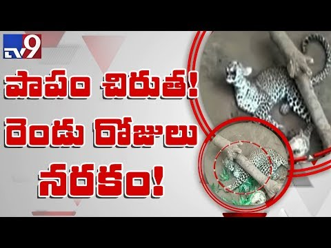 Leopard caught in trap laid by hunters in Nizamabad - TV9