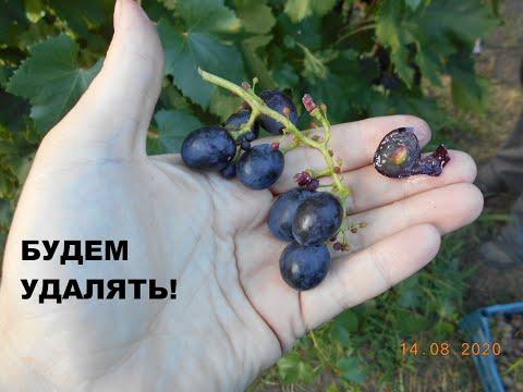 Такой виноград нам