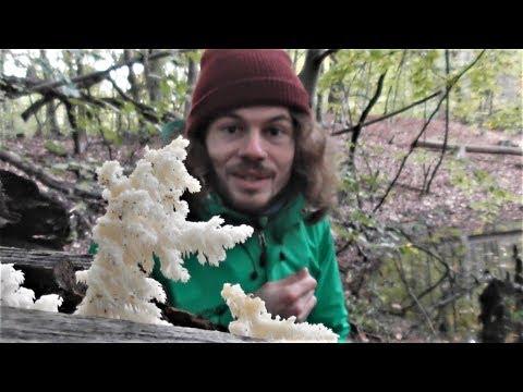 Ästiger Stachelbart - Hericium coralloides