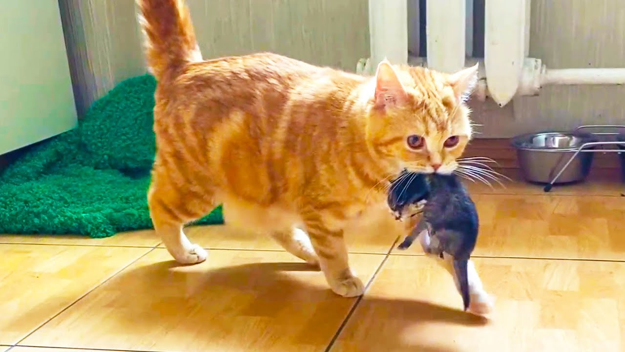 A Mama Cat Carries Kittens 🌈