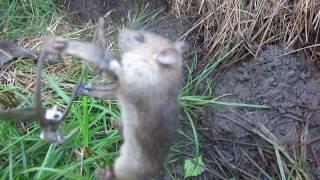 BẪY CHUỘT bằng Cạm kiềng của người Miền Bắc (Foot trap 0f mouse)