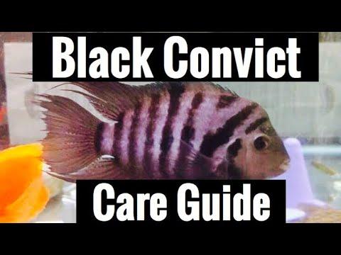 Black Convict Care - Cichlid Guide & Tank Mates