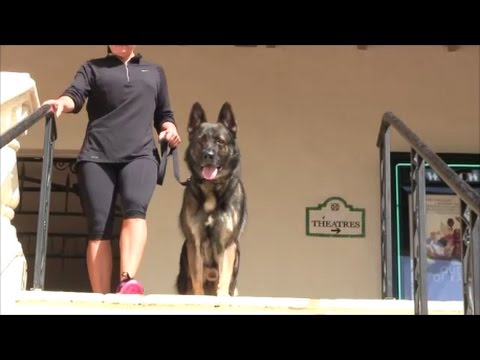 Trained Protection Dog goes to Starbucks with his owner!