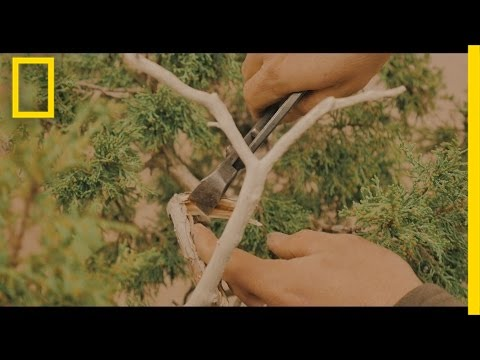 The Art of Shaping a Bonsai Tree | Short Film Showcase