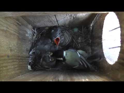 tit-cuckoo feeding in nest box