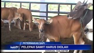 PELEPAH SAWIT JADI ALTERNATIF MAKANAN SAPI