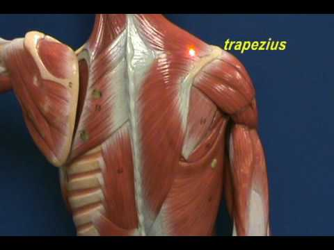 little man model - trapezius & longissimus dorsi.avi - youtube, Muscles