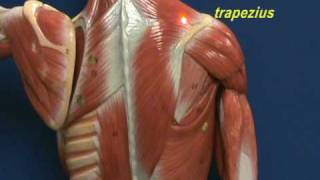 Little Man Model - Trapezius & Longissimus Dorsi.avi