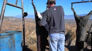 Pig hunting at Big Horn Canyon Ranch Part I.mov