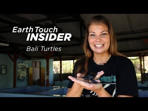 Bali turtle conservation in action