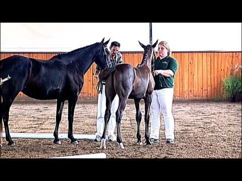 akinori,-charlotte's-creek-farm,-hilltop,-oldenburg-horse-breeders-society-inspection