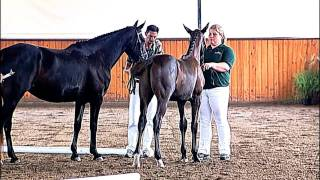 Repeat youtube video Akinori, Charlotte's Creek Farm, Hilltop, Oldenburg Horse Breeders Society Inspection