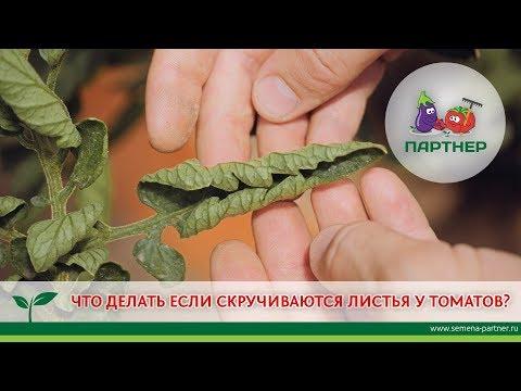 Как спасти помидоры от скручивания листьев видео