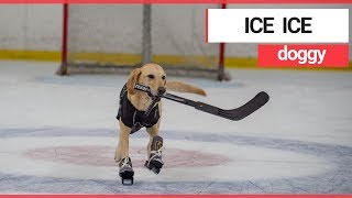 The world's first ice-skating dog   SWNS TV