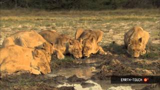Lions of Moremi Highlights 16