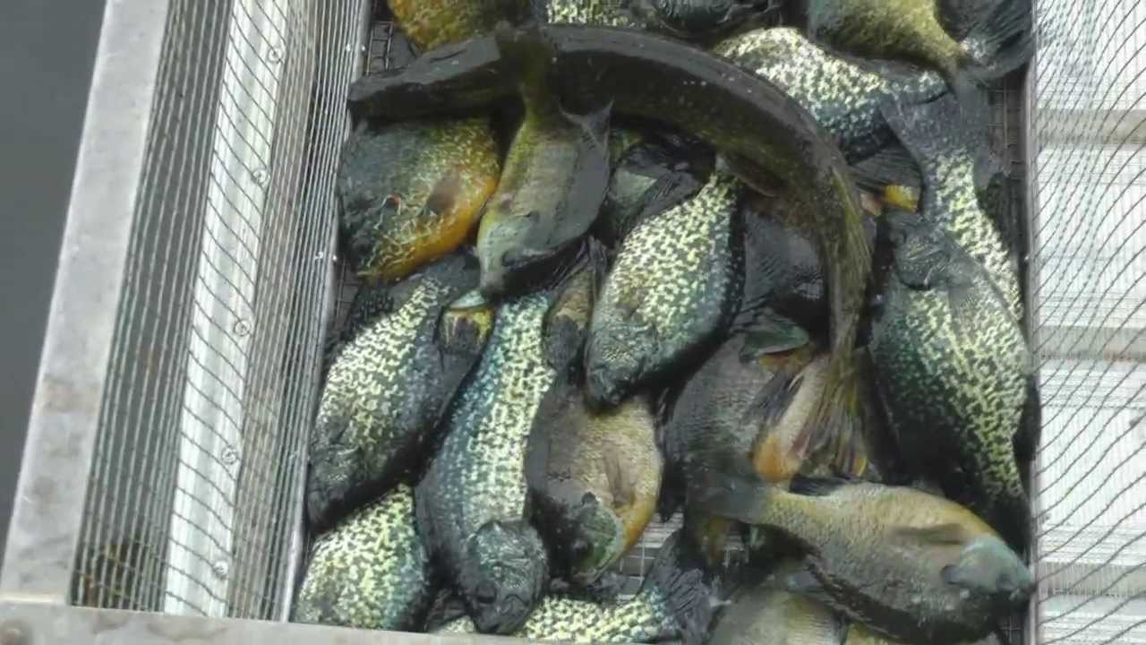 Crappie fishing spawning season