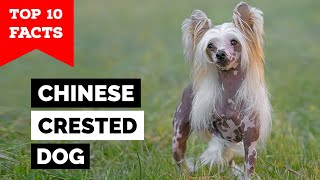 Chinese Crested Dog  Top 10 Facts