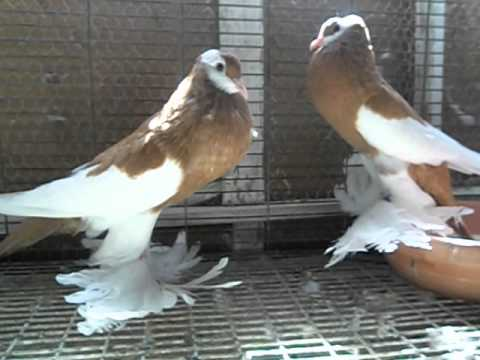 Pouter Pigeon For sale - YouTube