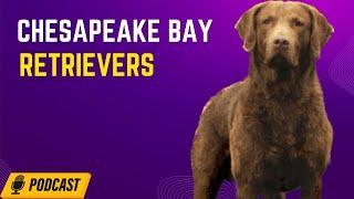 Chesapeake Bay Retrievers  Cat MartiniRashid | HOD #14