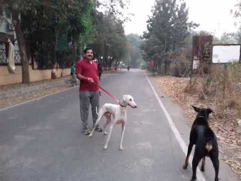 Dog Breed Karva from Karnataka State,India