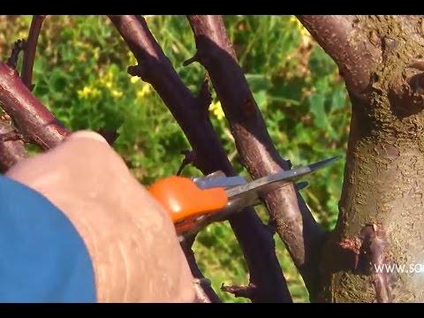 Pruning - Plum Trees