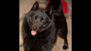 #194 SCHIPPERKE 2/2   | Which Dog Should I Get? Dog Breed Selector