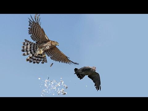 Сапсан разогнал николаевских голубей  Белогорск, Крым