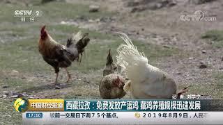 [中国财经报道]西藏拉孜:免费发放产蛋鸡 藏鸡养殖规模迅速发展| CCTV财经