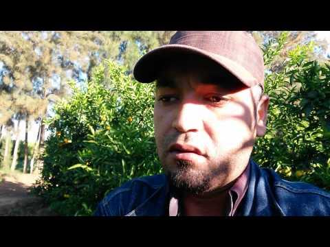 Agrumes en Algérie, comment planter les agrumes