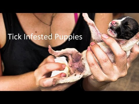 Newborn Orphan Puppies Infested With Ticks