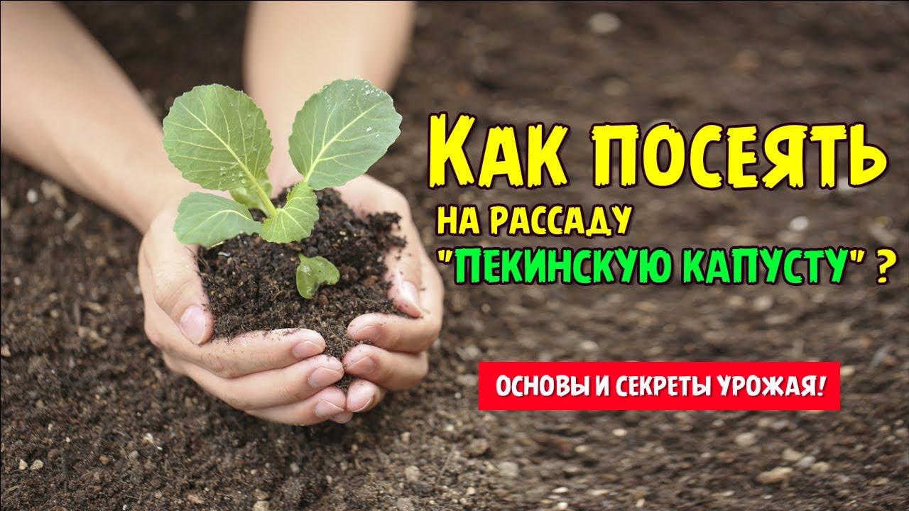 как посеять капусту на рассаду дома видео
