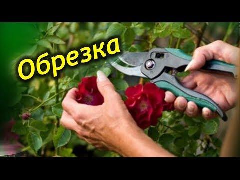 ОБРЕЗКА РОЗЫ. Когда и как правильно обрезать комнатную розу!