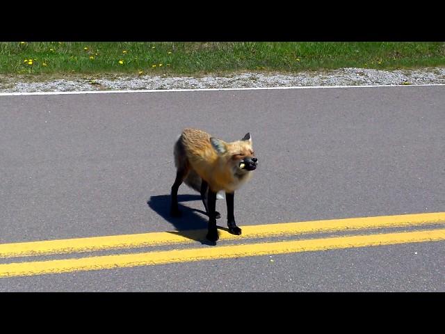 Fox having a snack