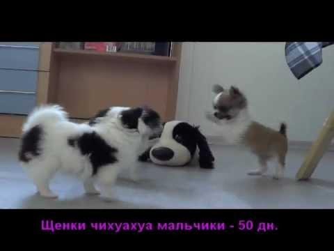 Как проходит выставка собак (шпицы на выставке) «ЖЕМЧУЖИНА САМАРЫ .