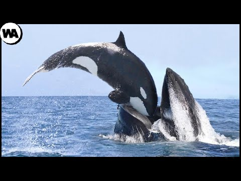 This Is Why All Whales Are Afraid of Orca
