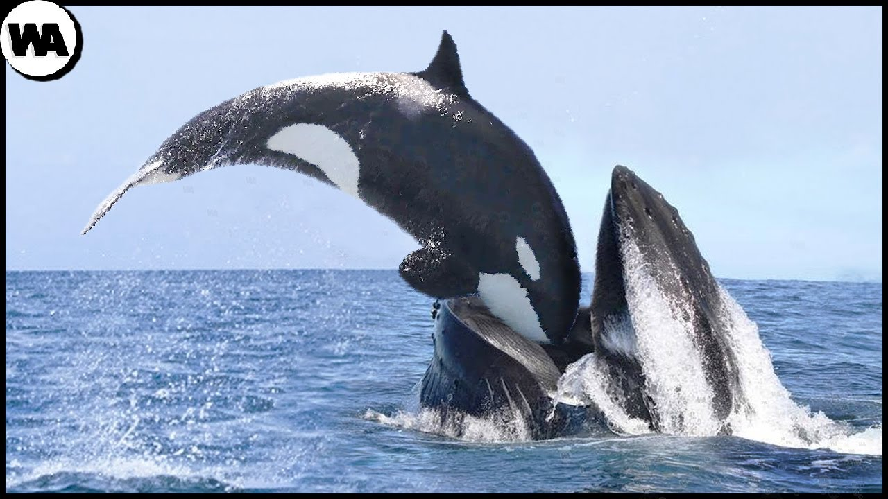 Download This Is Why All Whales Are Afraid of Orca
