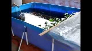 Criação de Camarão da Malásia com Guppy lebiste caixa de água