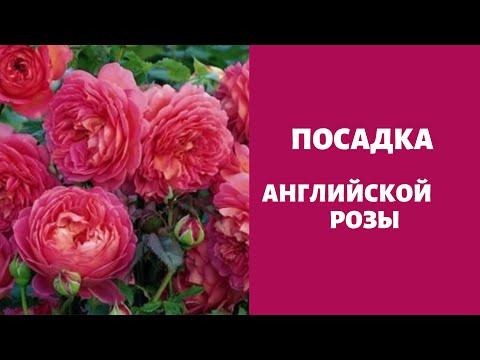 Время высадки роз. Английские розы! Выращивание, посадка, уход